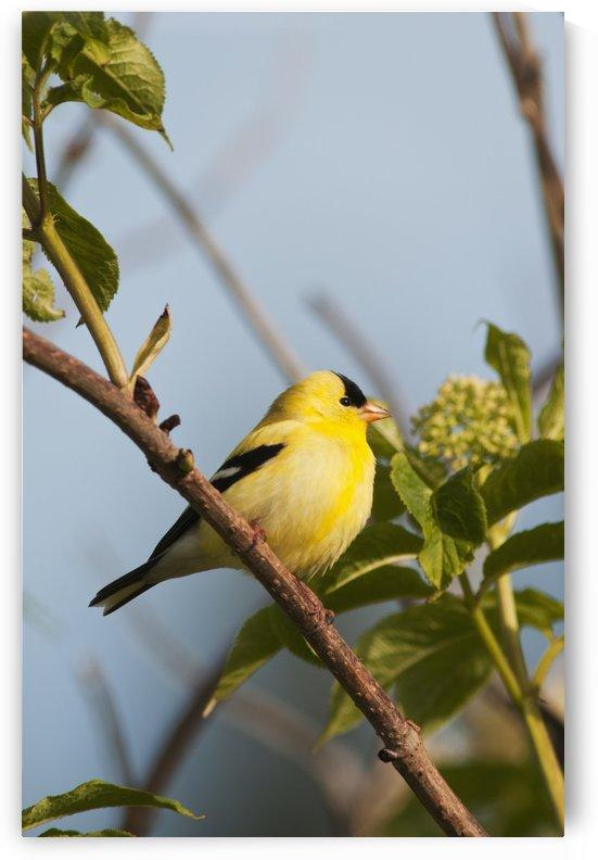 A male American Goldfinch (Carduelis tristis) perches in a bush; Astoria, Oregon, United States of America by PacificStock