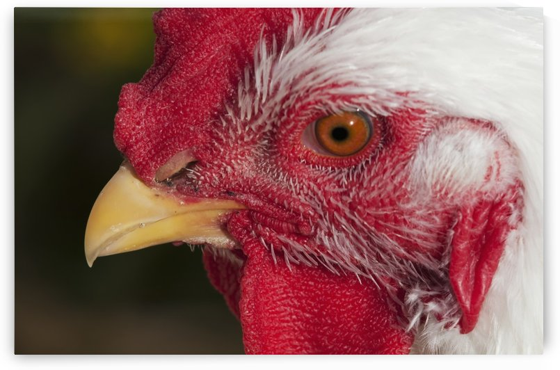 A rooster shows his best side; Astoria, Oregon, United States of America by PacificStock
