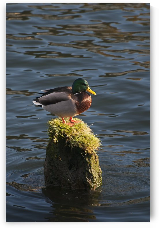 A drake Mallard perches on a piling; Astoria, Oregon, United States of America by PacificStock