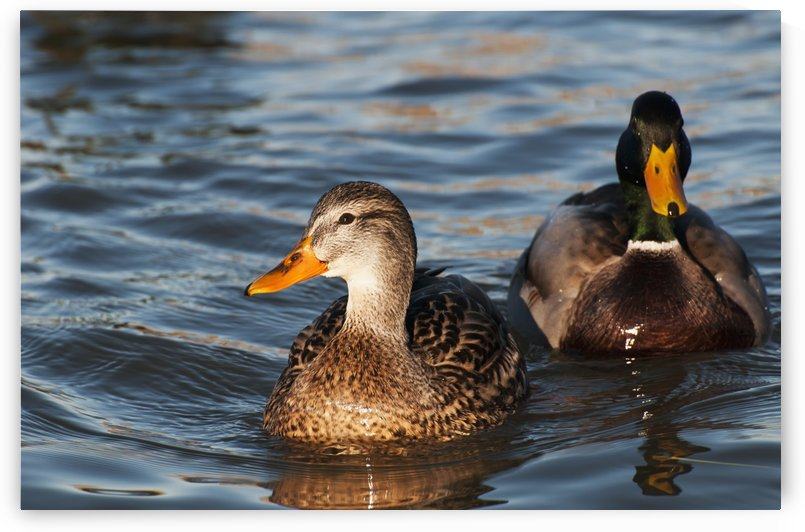 A pair of Mallards swim in the Columbia River; Astoria, Oregon, United States of America by PacificStock