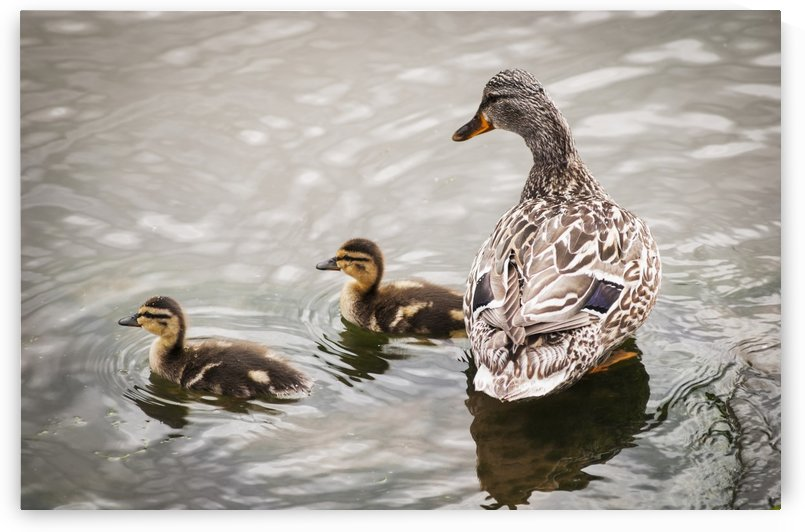 A mother mallard guards her ducklings; Astoria, Oregon, United States of America by PacificStock