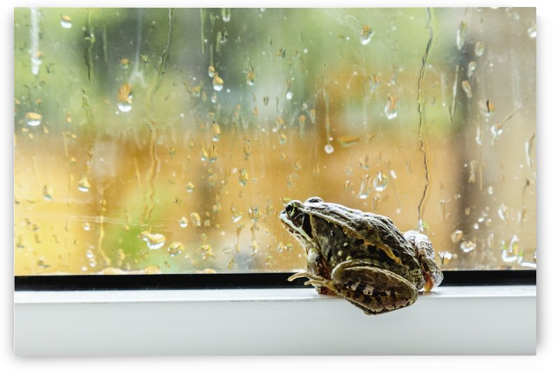 A brown frog sits on a window ledge looking outside at the rain; Fort McMurray, Alberta, Canada by PacificStock