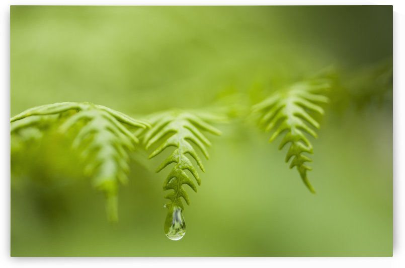 A waterdrop hangs on the edge of a fern frond; Manzanita, Oregon, United States of America by PacificStock