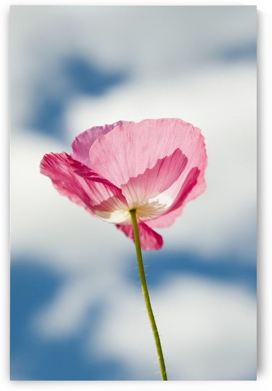 A pink poppy reaches for the clouds; Astoria, Oregon, United States of America by PacificStock