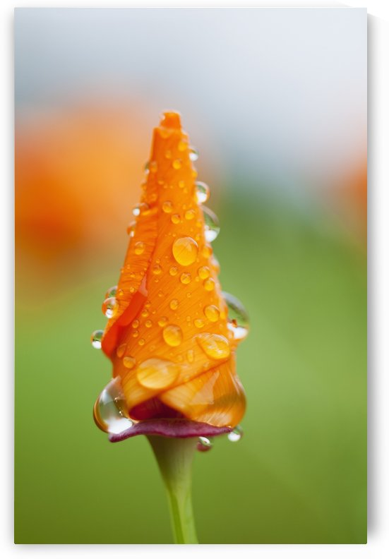 California poppy (Eschscholzia californica) remains closed in the rain; Astoria, Oregon, United States of America by PacificStock