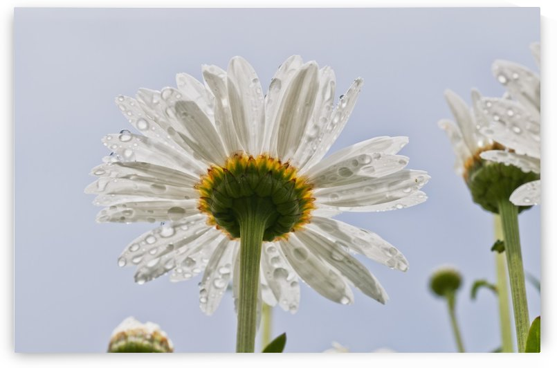 Raindrops cling to daisy petals; Astoria, Oregon, United States of America by PacificStock