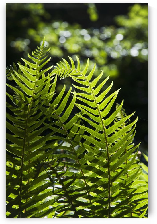 Sword fern grows in the forest; Elsie, Oregon, United States of America by PacificStock
