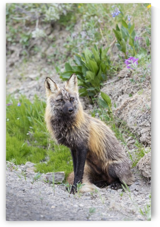 View of a Cross Fox hunting along the road in Thorofare Pass, Denali National Park; Alaska, United States of America by PacificStock