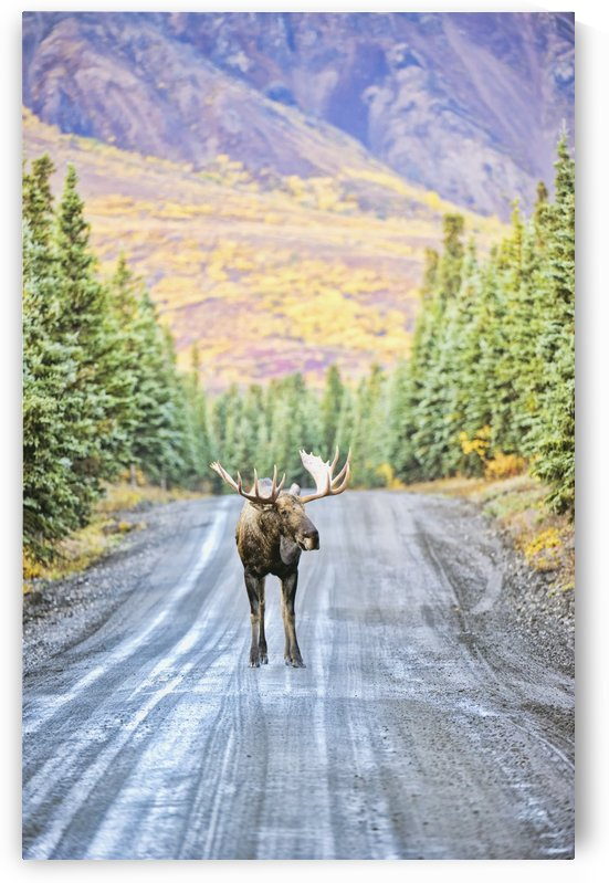 A bull moose stands in the middle of Denali Park Road, in Denali National Park and Preserve, with the mountains in the background in autumn; Alaska, United States of America by PacificStock