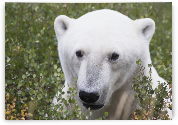 Large male polar bear (ursus maritimus) sitting in the willow bushes near Churchill; Manitoba, Canada by PacificStock