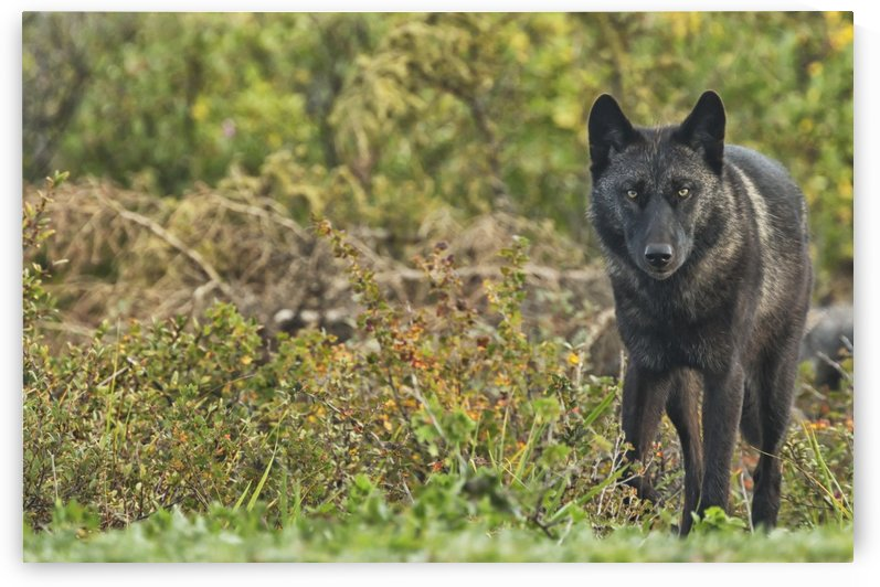 Black wolf (Canis lupus) along the coast of Hudson Bay; Manitoba, Canada by PacificStock