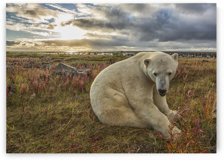 Polar bear (Ursus maritimus) sitting in the grass along the shorline of Hudson Bay; Manitoba, Canada by PacificStock