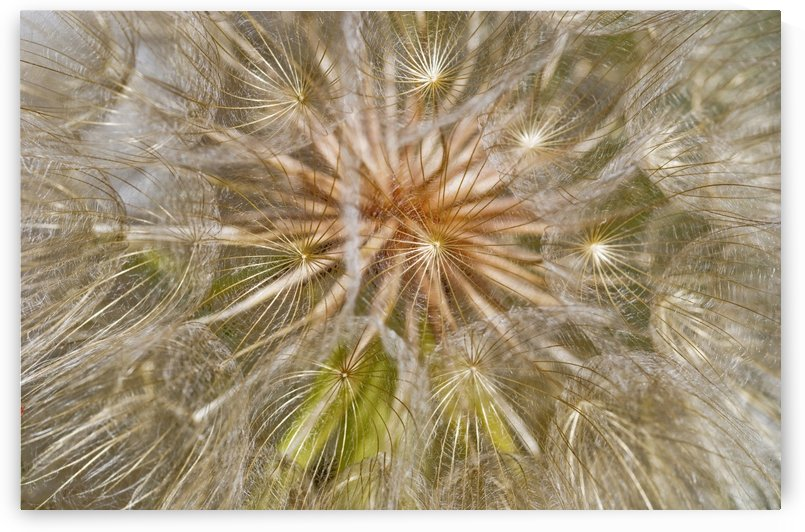 Salsify seeds; Wilbur, Oregon, United States of America by PacificStock