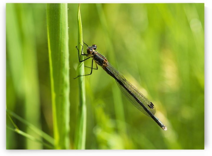A Damselfly rests on a blade of grass; Reedsport, Oregon, United States of America by PacificStock