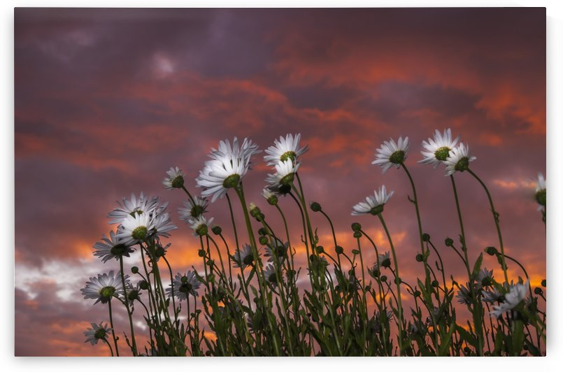 Clouds glowing pink and orange at sunset over Shasta daisies; Astoria, Oregon, United States of America by PacificStock