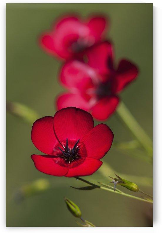 Flax (Linum usitatissimum) blooms in a garden; Astoria, Oregon, United States of America by PacificStock