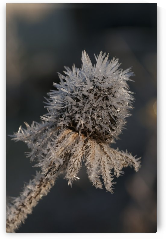 Frost crystals on dead flower in the winter; Astoria, Oregon, United States of America by PacificStock