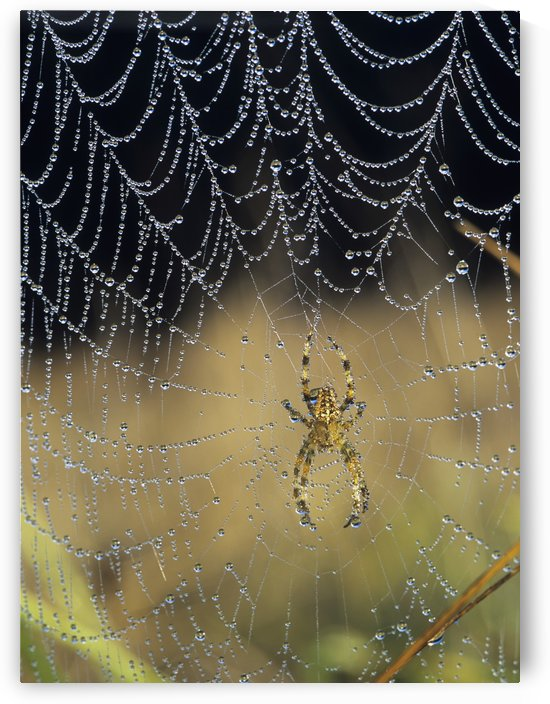 Dew collects on the web of a European Garden Spider; Astoria, Oregon, United States of America by PacificStock