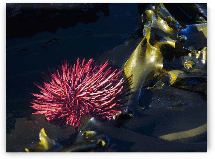 A Red Sea Urchin is exposed by a minus tide at Cape Arago State Park; Oregon, United States of America by PacificStock
