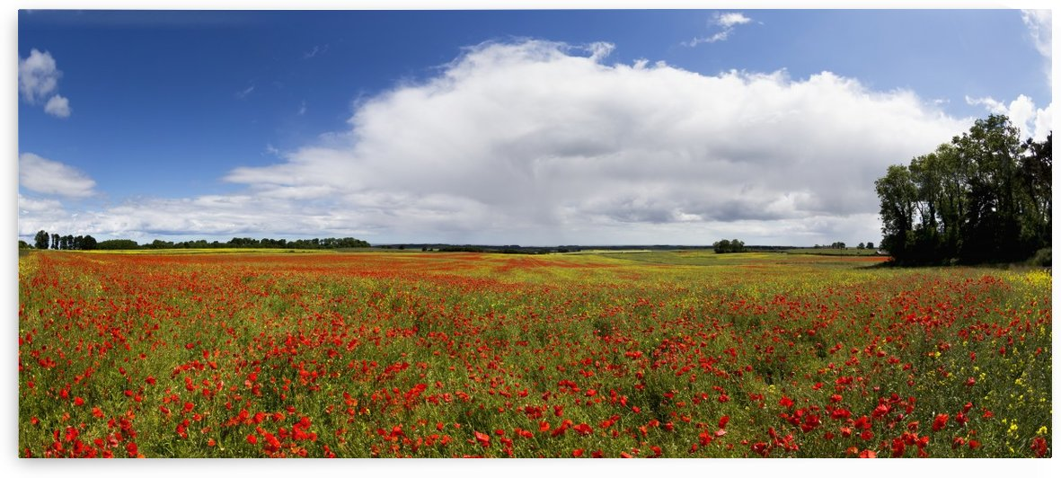 A field of red wildflowers; Northumberland, England by PacificStock
