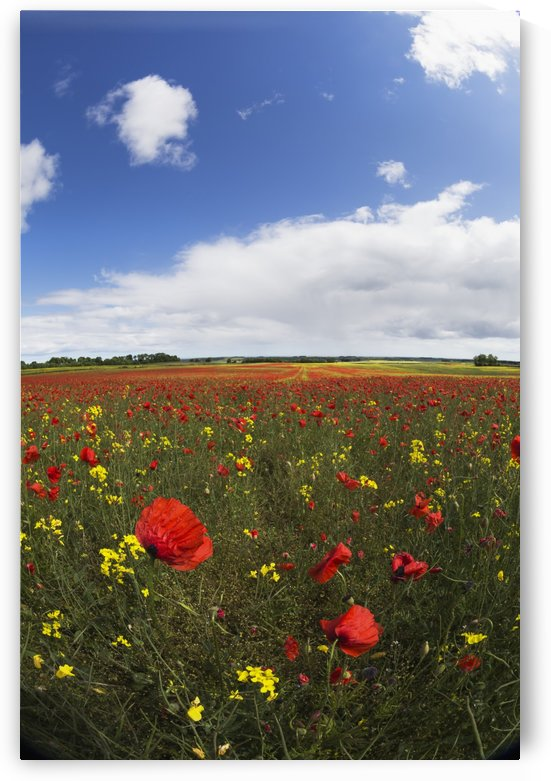 A field of red and yellow wildflowers; Northumberland, England by PacificStock