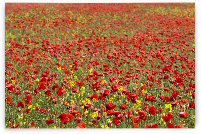 An abundance of red and yellow flowers growing in a field; Northumberland, England by PacificStock