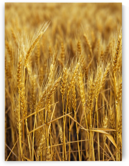 Golden wheat heads; Chester, Oklahoma, United States of America by PacificStock