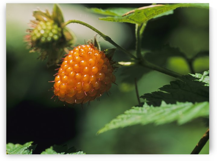 Salmonberry (Rubus spectabilis); Waldport, Oregon, United States of America by PacificStock