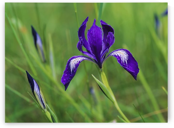 Oregon Iris (Iris tenax) blooms in the forest; Florence, Oregon, United States of America by PacificStock