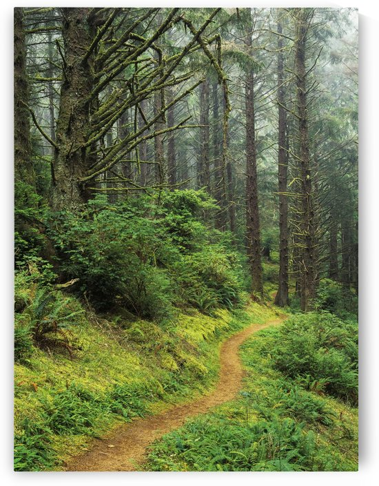 A hiking trail passes through a forest of Sitka spruce trees; Reedsport, Oregon, United States of America by PacificStock