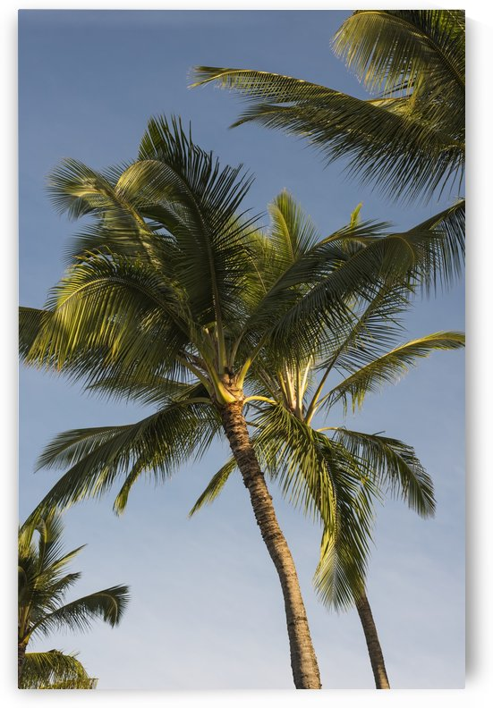 Coconut Palms sway in tropical breezes; Poipu, Kauai, Hawaii, United States of America by PacificStock
