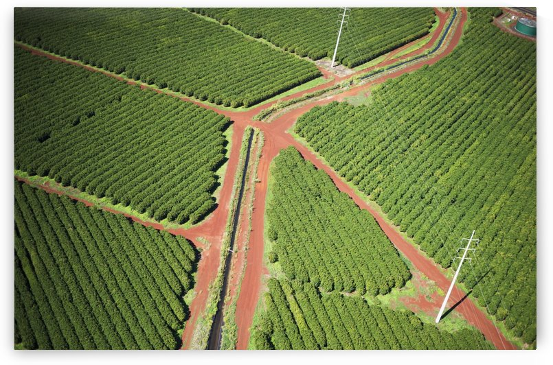 Coffee trees grow on Kauai; Port Allen, Kauai, Hawaii, United States of America by PacificStock