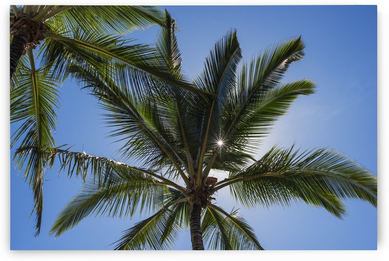 Coconut Palms backlit by the sunlight in a blue sky; Poipu, Kauai, Hawaii, United States of America by PacificStock