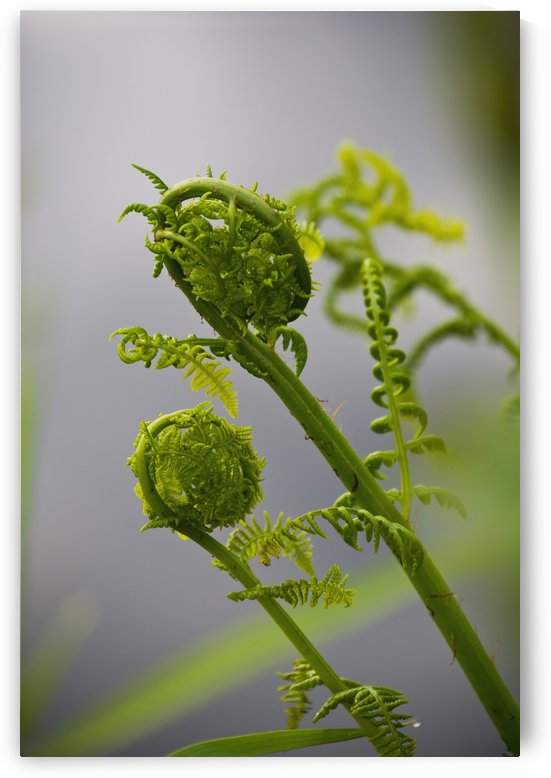 Lady fern fronds unfurl; Astoria, Oregon, United States of America by PacificStock