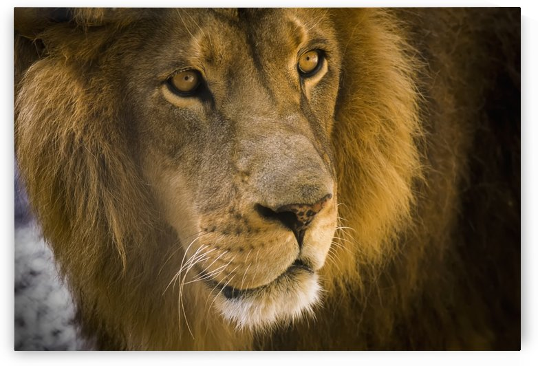 A male lion (Panthera leo) hangs out at the petting zoo; Bandon, Oregon, United States of America by PacificStock