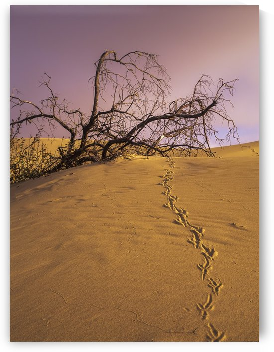 Raven tracks across the sand dune; Lakeside, Oregon, United States of America by PacificStock