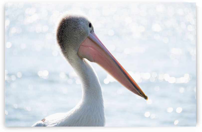 Pelican at the water; Queensland, Australia by PacificStock