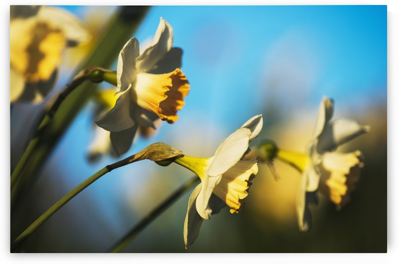 Daffodils in bloom; Astoria, Oregon, United States of America by PacificStock