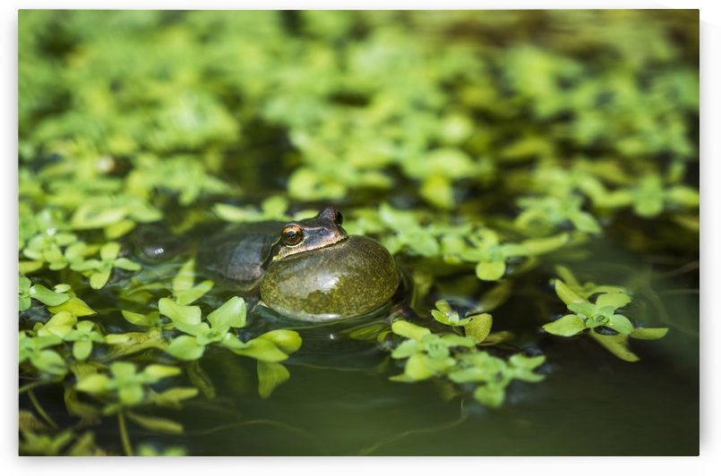 Pacific tree frog (Pseudacris regilla) calls in a pond; Astoria, Oregon, United States of America by PacificStock