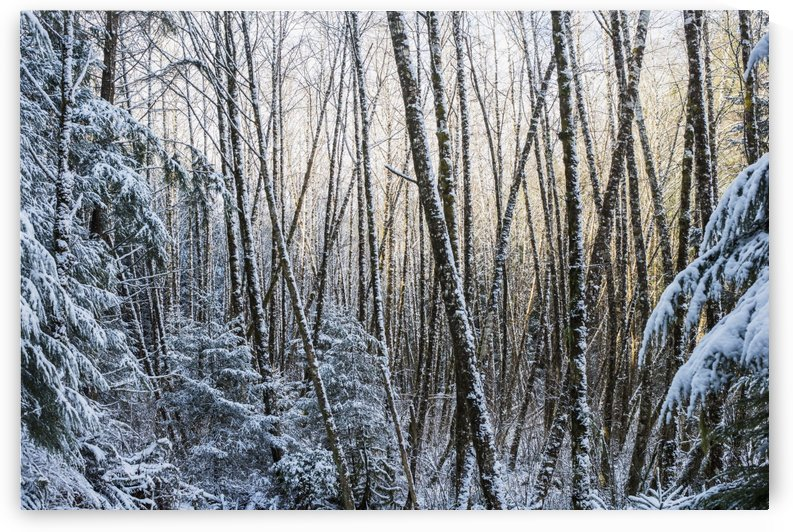 Snow falls on the alders; Astoria, Oregon, United States of America by PacificStock