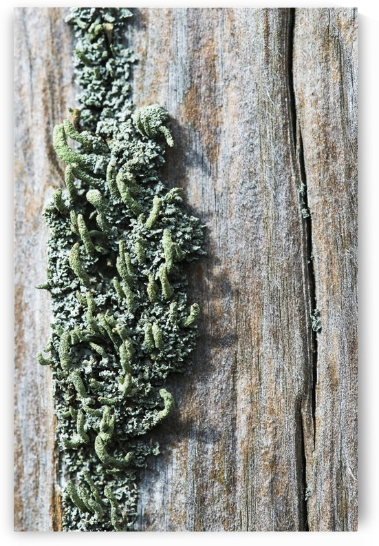 Lichen grow on a fence post; Astoria, Oregon, United States of America by PacificStock