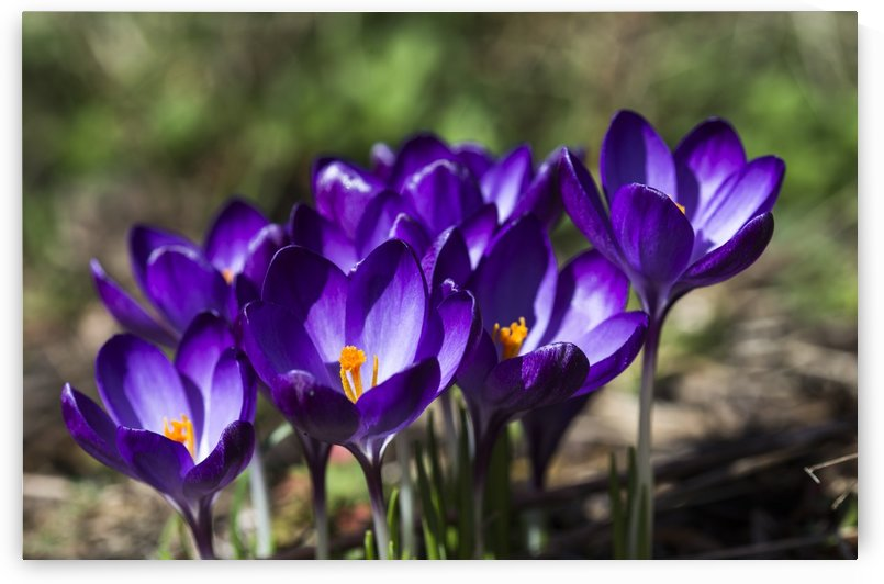 Crocuses in bloom; Astoria, Oregon, United States of America by PacificStock