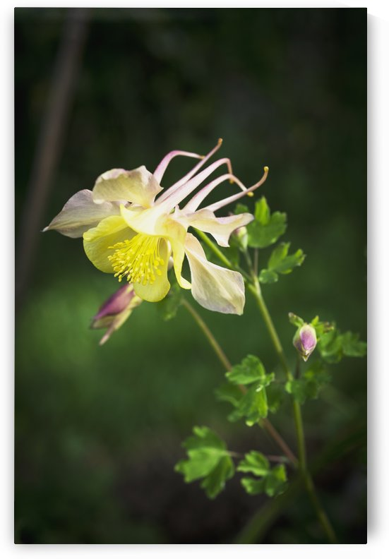 Columbine blooms in a garden; Astoria, Oregon, United States of America by PacificStock
