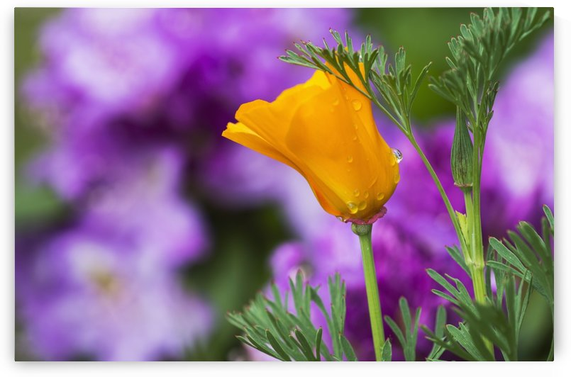 A California Poppy blooms in a garden; Astoria, Oregon, United States of America by PacificStock