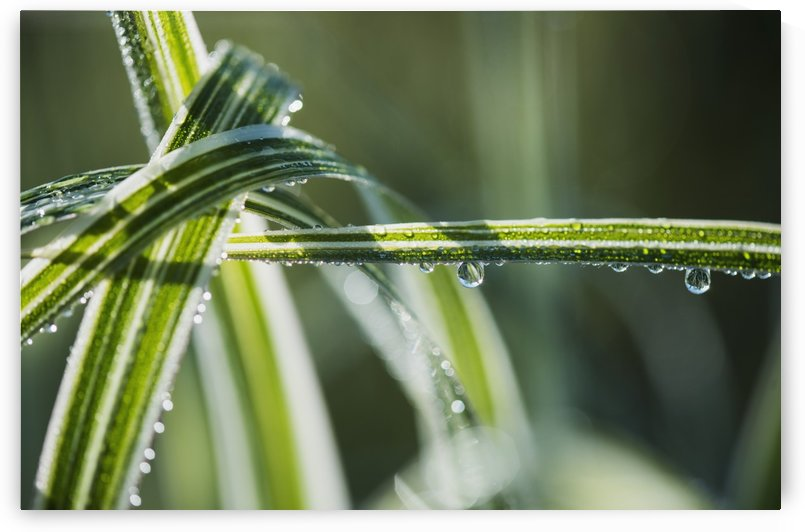 Dew clings to ornamental grass; Astoria, Oregon, United States of America by PacificStock