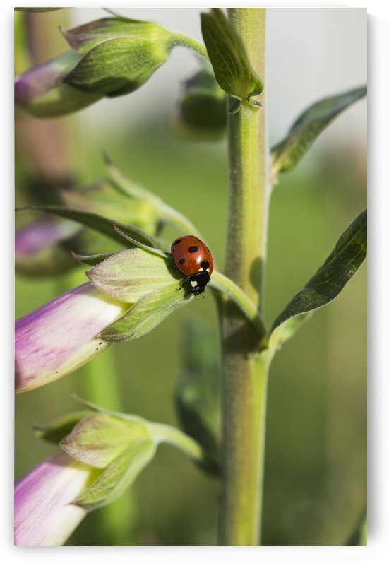 A Ladybug Beetle rests on Foxglove; Astoria, Oregon, United States of America by PacificStock