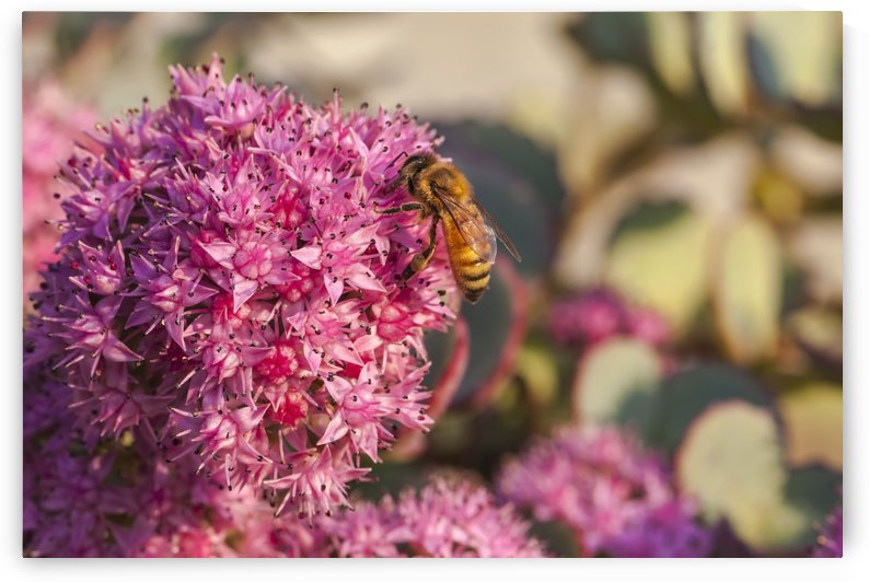 Honeybee on a dark pink Sedum flower (Apis mellifera); Toronto, Ontario, Canada by PacificStock