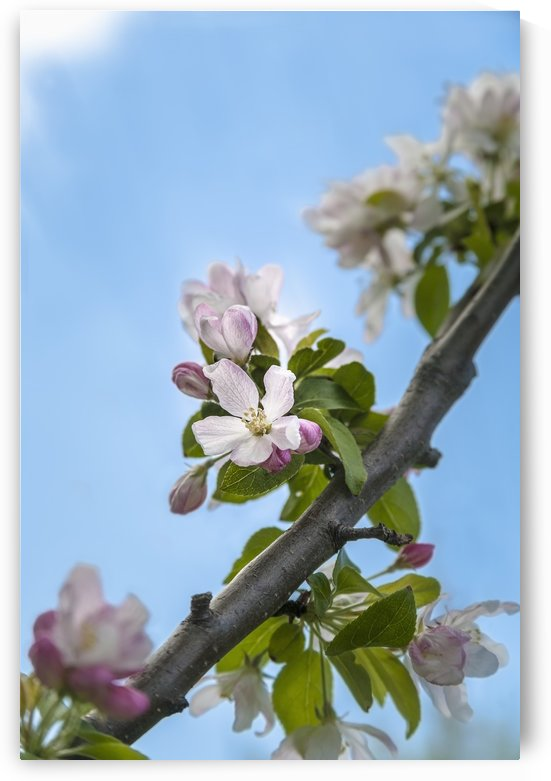 Pink and white crabapple flowers against a blue sky; Toronto, Ontario, Canada by PacificStock