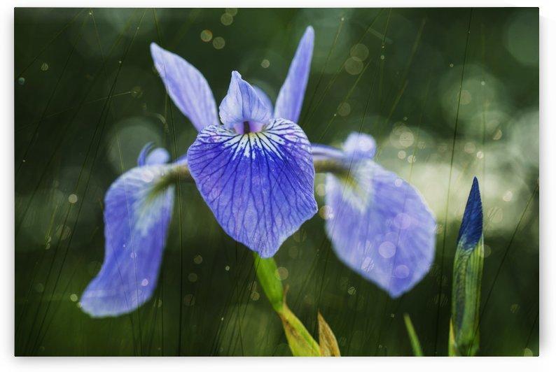 Blue Flag Iris (Iris Versicolor); Ontario, Canada by PacificStock