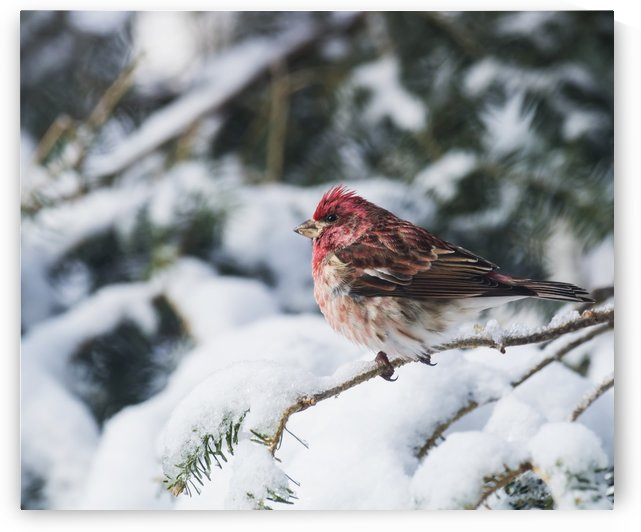 Male purple finch on a snow covered tree; Ontario, Canada by PacificStock